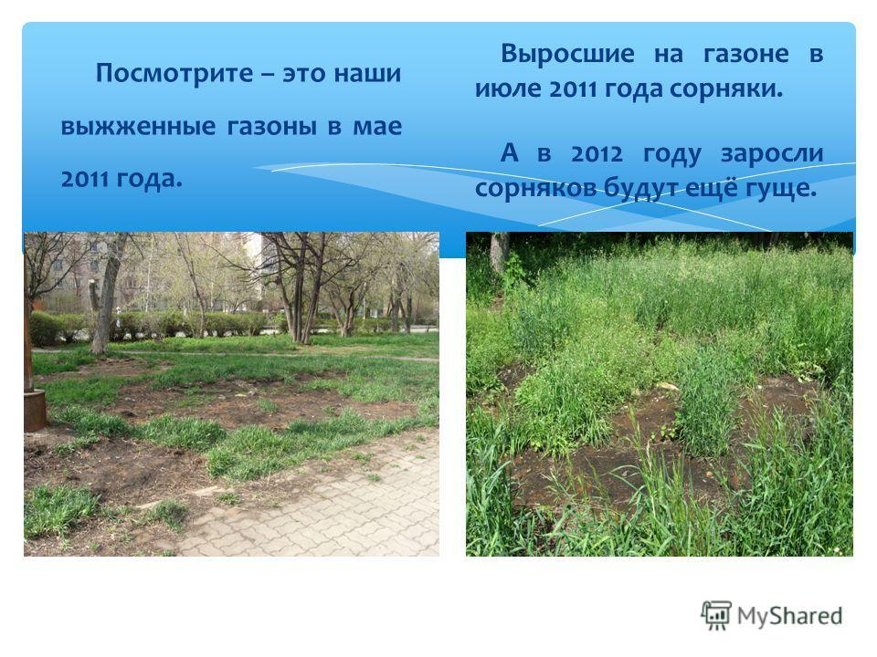 Посмотрите – это наши выжженные газоны в мае 2011 года. Выросшие на газоне в июле 2011 года сорняки. А в 2012 году заросли сорняков будут ещё гуще.