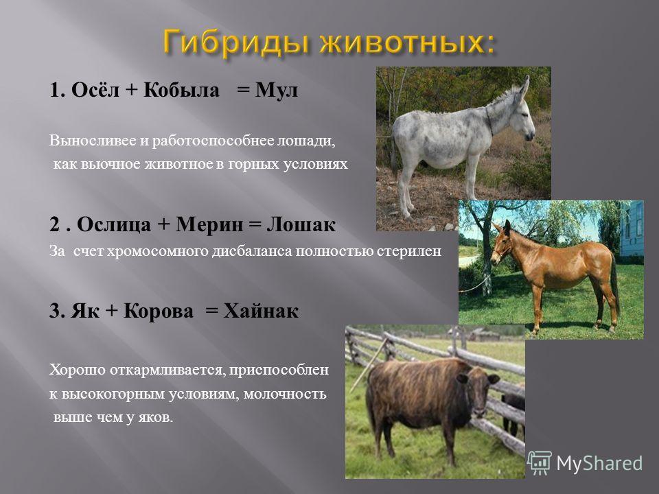1. Осёл + Кобыла = Мул Выносливее и работоспособнее лошади, как вьючное животное в горных условиях 2. Ослица + Мерин = Лошак За счет хромосомного дисбаланса полностью стерилен 3. Як + Корова = Хайнак Хорошо откармливается, приспособлен к высокогорным