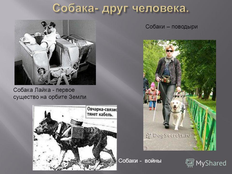 Собака Лайка - первое существо на орбите Земли Собаки - войны Собаки – поводыри