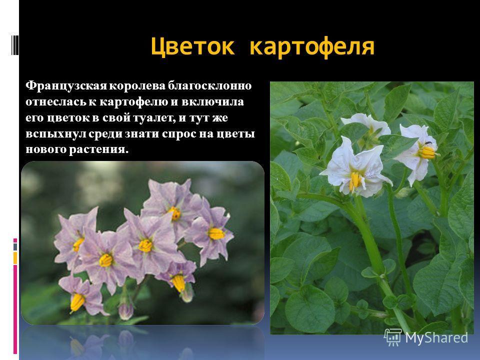 Цветок картофеля Французская королева благосклонно отнеслась к картофелю и включила его цветок в свой туалет, и тут же вспыхнул среди знати спрос на цветы нового растения.