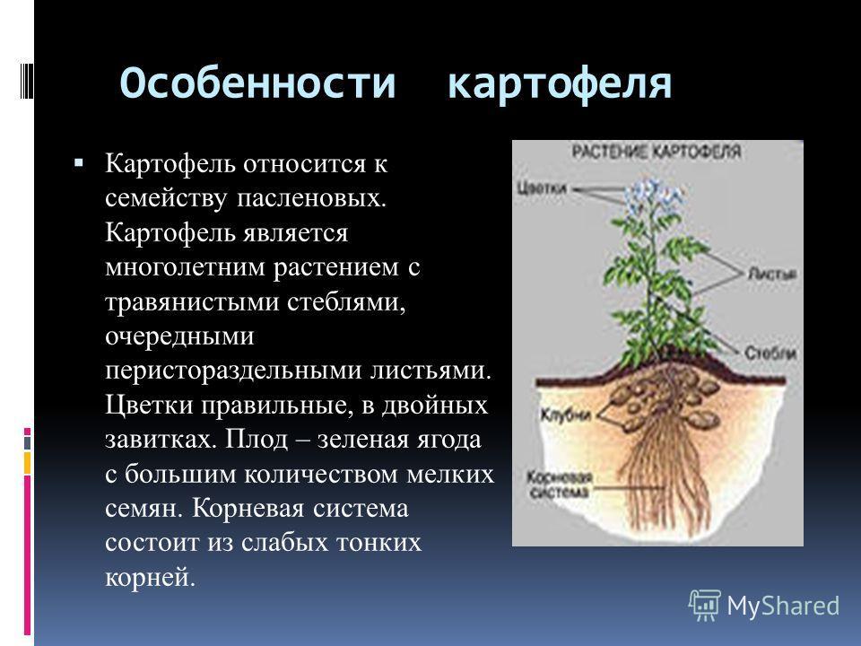 Особенности картофеля Картофель относится к семейству пасленовых. Картофель является многолетним растением с травянистыми стеблями, очередными перистораздельными листьями. Цветки правильные, в двойных завитках. Плод – зеленая ягода с большим количест