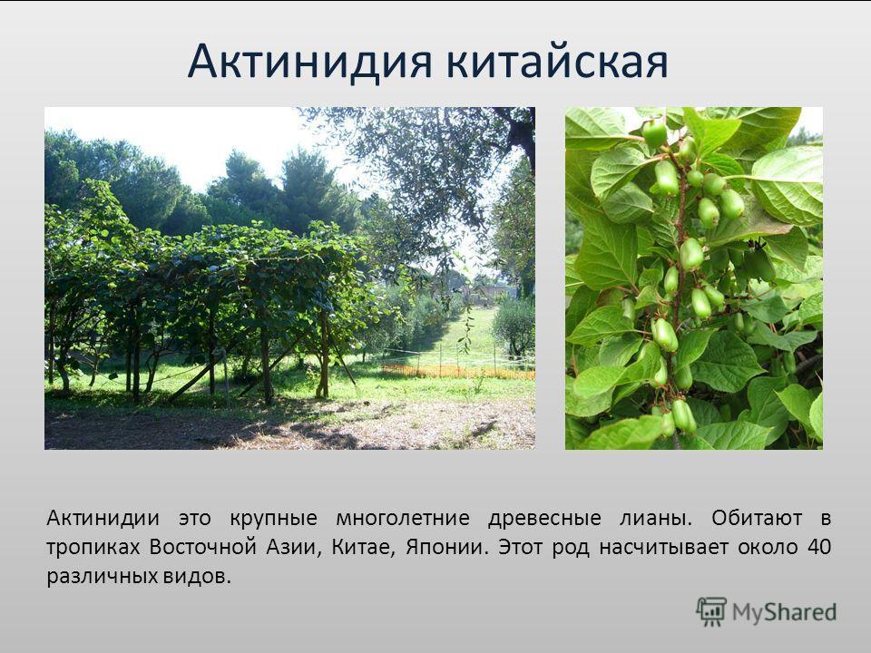 Актинидия китайская Актинидии это крупные многолетние древесные лианы. Обитают в тропиках Восточной Азии, Китае, Японии. Этот род насчитывает около 40 различных видов.