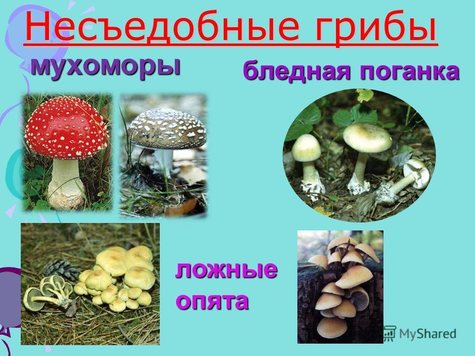сыроежка белый гриб (боровик) лисички опята груздь рыжик