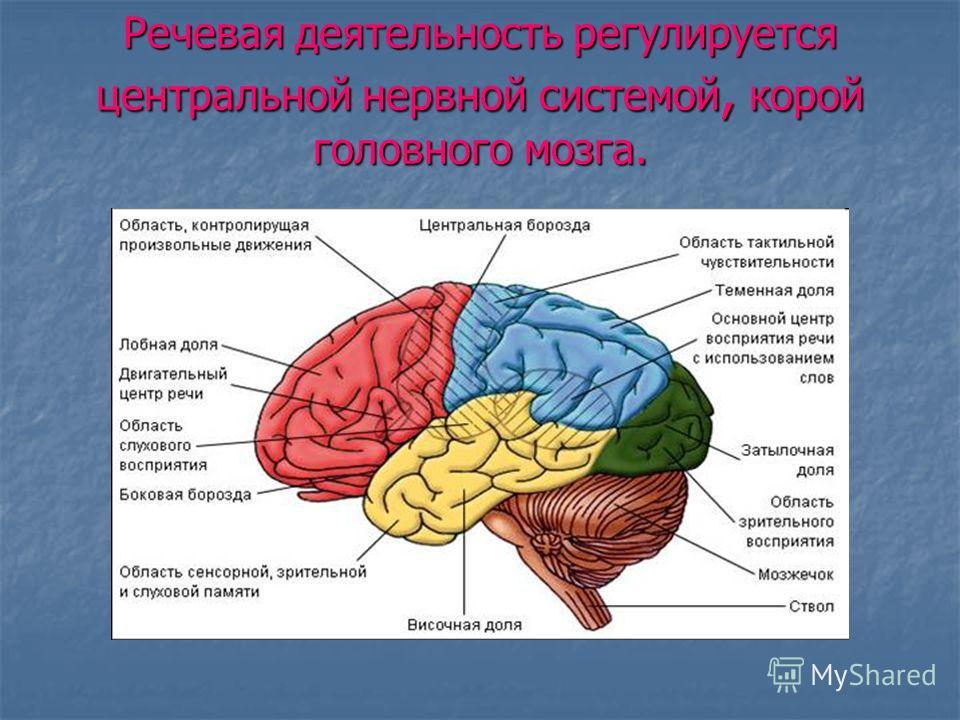 Речевая деятельность регулируется центральной нервной системой, корой головного мозга.
