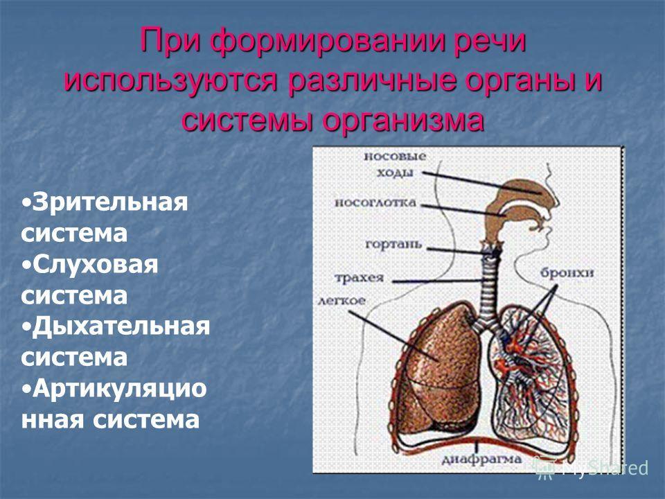 При формировании речи используются различные органы и системы организма Зрительная система Слуховая система Дыхательная система Артикуляцио нная система