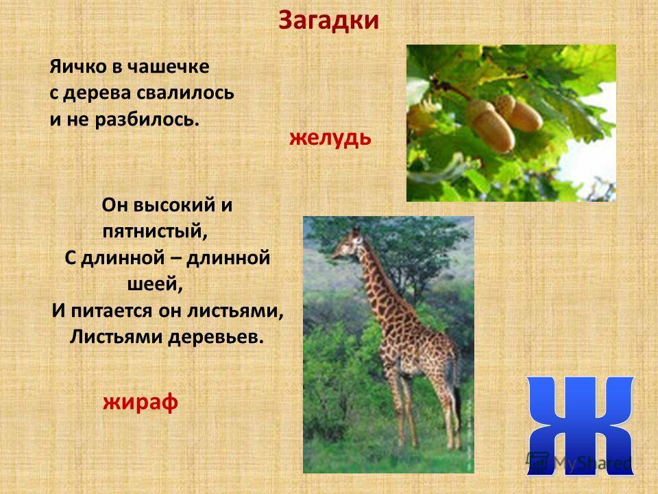 Загадки Яичко в чашечке с дерева свалилось и не разбилось. Он высокий и пятнистый, С длинной – длинной шеей, И питается он листьями, Листьями деревьев. желудь жираф