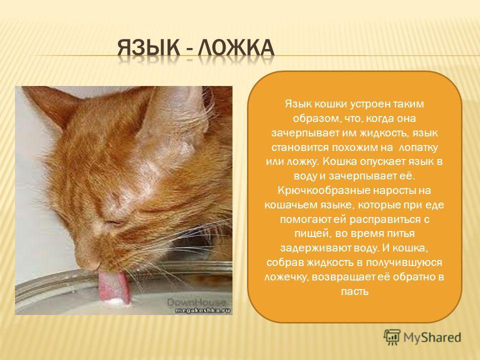 Язык кошки устроен таким образом, что, когда она зачерпывает им жидкость, язык становится похожим на лопатку или ложку. Кошка опускает язык в воду и зачерпывает её. Крючкообразные наросты на кошачьем языке, которые при еде помогают ей расправиться с