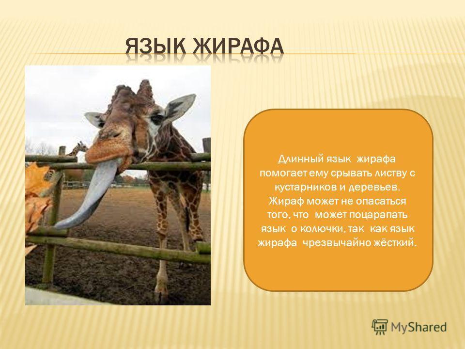 Длинный язык жирафа помогает ему срывать листву с кустарников и деревьев. Жираф может не опасаться того, что может поцарапать язык о колючки, так как язык жирафа чрезвычайно жёсткий.