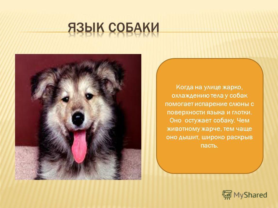 Когда на улице жарко, охлаждению тела у собак помогает испарение слюны с поверхности языка и глотки. Оно остужает собаку. Чем животному жарче, тем чаще оно дышит, широко раскрыв пасть.