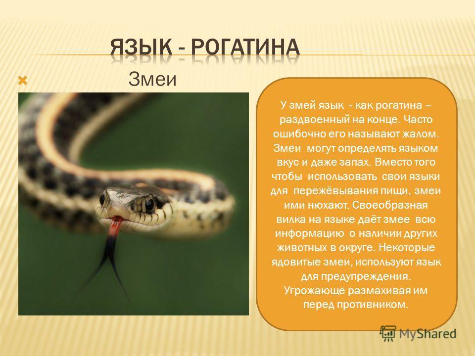 Змеи У змей язык - как рогатина – раздвоенный на конце. Часто ошибочно его называют жалом. Змеи могут определять языком вкус и даже запах. Вместо того чтобы использовать свои языки для пережёвывания пищи, змеи ими нюхают. Своеобразная вилка на языке