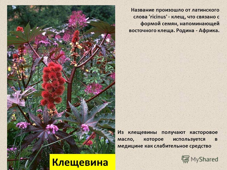 Название произошло от латинского слова 'ricinus' - клещ, что связано с формой семян, напоминающей восточного клеща. Родина - Африка. Из клещевины получают касторовое масло, которое используется в медицине как слабительное средство Клещевина