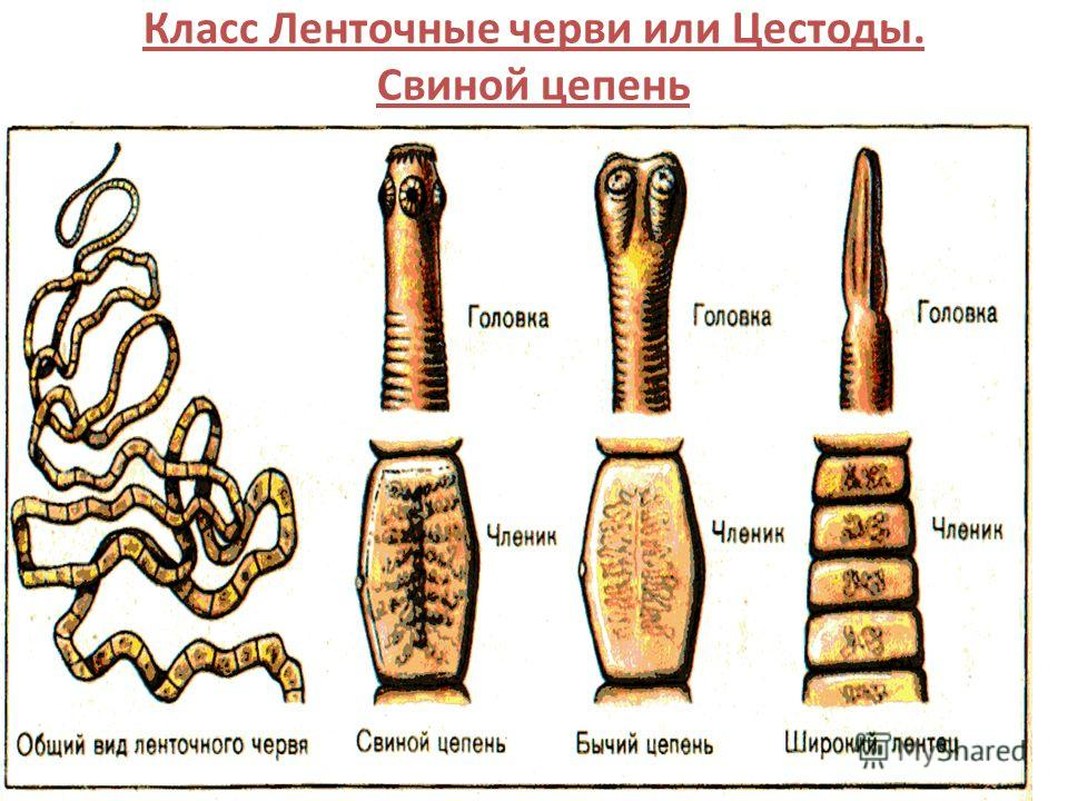 12 Класс Ленточные черви или Цестоды. Свиной цепень