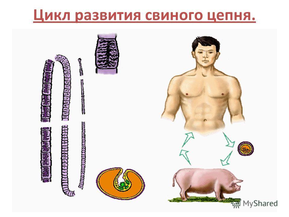 14 Цикл развития свиного цепня.