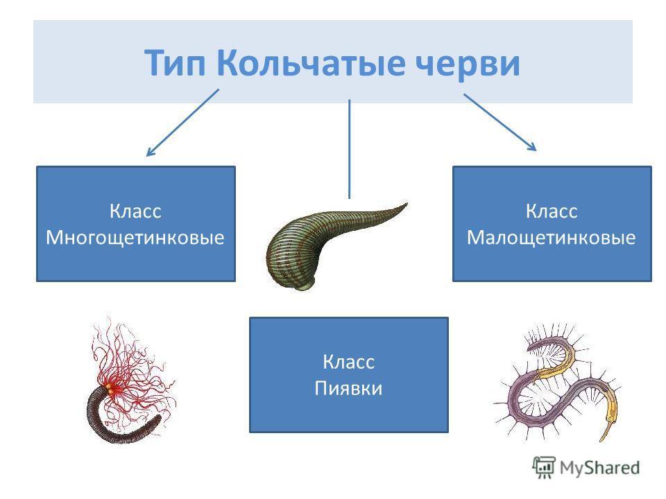 Тип Кольчатые черви Класс Многощетинковые Класс Малощетинковые Класс Пиявки