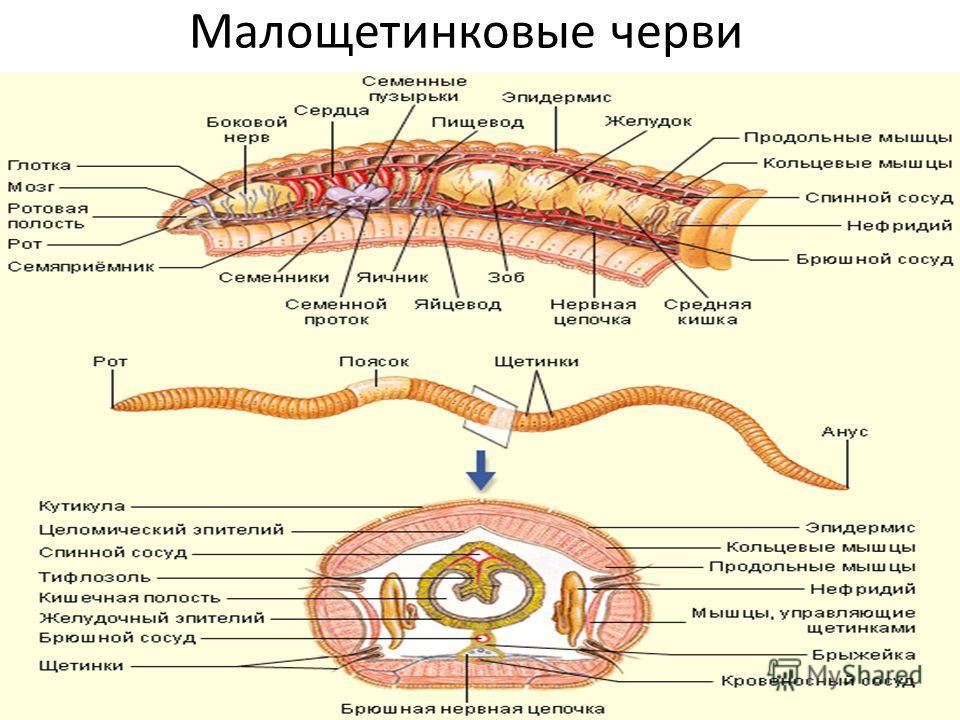 Малощетинковые черви