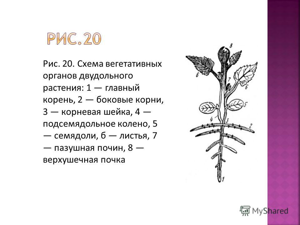 Рис. 20. Схема вегетативных органов двудольного растения: 1 главный корень, 2 боковые корни, 3 корневая шейка, 4 подсемядольное колено, 5 семядоли, б листья, 7 пазушная почин, 8 верхушечная почка