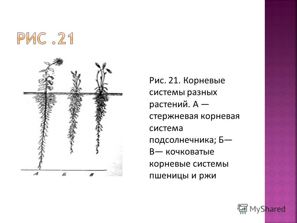 Рис. 21. Корневые системы разных растений. А стержневая корневая система подсолнечника; Б В кочковатые корневые системы пшеницы и ржи