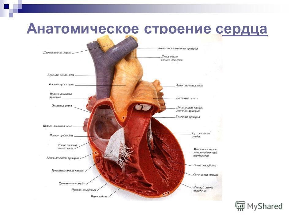 Анатомическое строение сердцасердца