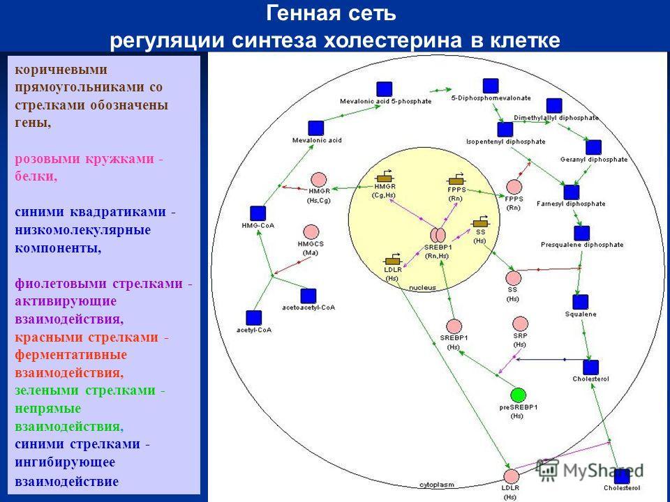 коричневыми прямоугольниками со стрелками обозначены гены, розовыми кружками - белки, синими квадратиками - низкомолекулярные компоненты, фиолетовыми стрелками - активирующие взаимодействия, красными стрелками - ферментативные взаимодействия, зеленым
