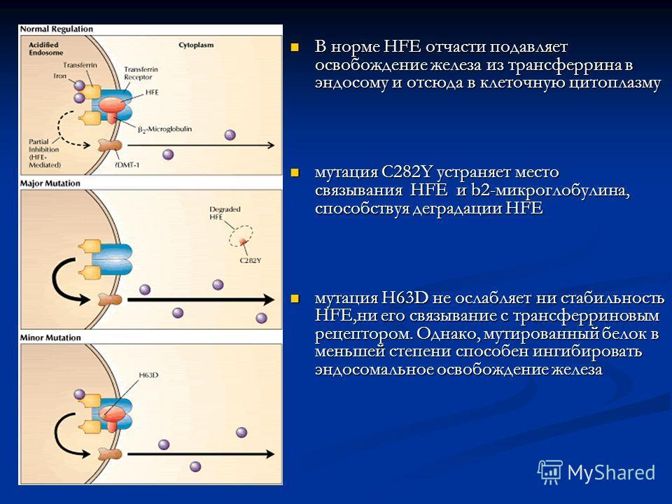 В норме HFE отчасти подавляет освобождение железа из трансферрина в эндосому и отсюда в клеточную цитоплазму мутация С282Y устраняет место связывания HFE и b2-микроглобулина, способствуя деградации HFE мутация H63D не ослабляет ни стабильность HFE,ни
