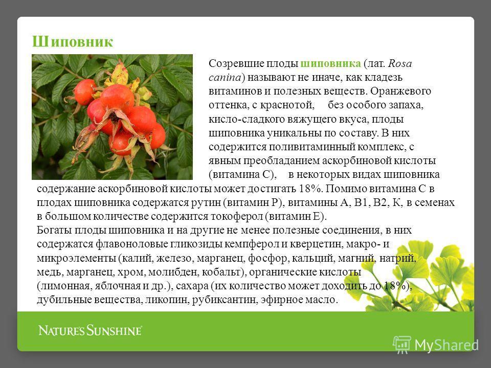 Шиповник Созревшие плоды шиповника (лат. Rosa canina) называют не иначе, как кладезь витаминов и полезных веществ. Оранжевого оттенка, с краснотой, без особого запаха, кисло-сладкого вяжущего вкуса, плоды шиповника уникальны по составу. В них содержи