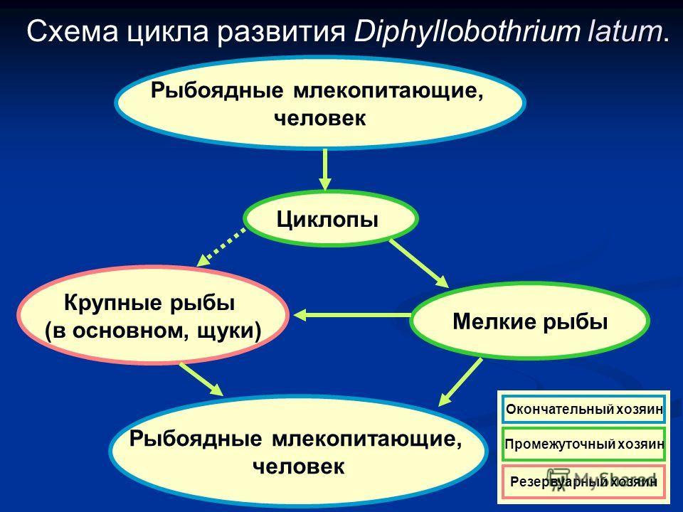 latum Схема цикла развития Diphyllobothrium latum. Рыбоядные млекопитающие, человек Рыбоядные млекопитающие, человек Крупные рыбы (в основном, щуки) Мелкие рыбы Циклопы Резервуарный хозяин Окончательный хозяин Промежуточный хозяин Резервуарный хозяин