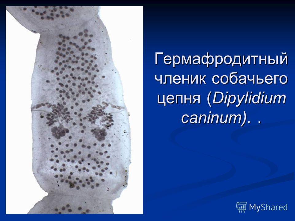 Гермафродитный членик собачьего цепня (Dipylidium caninum)..