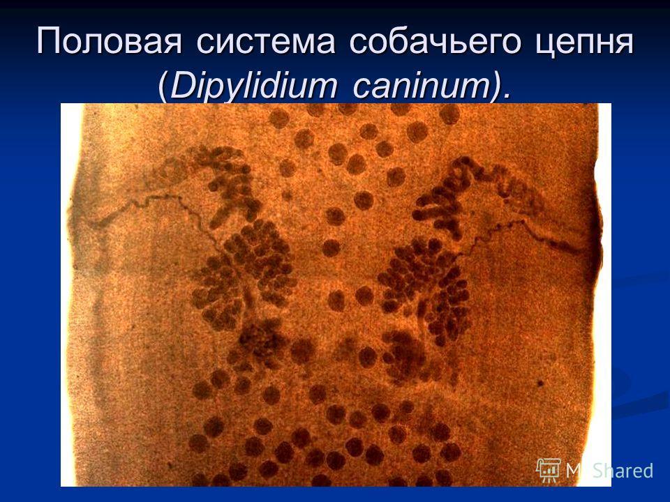 Половая система собачьего цепня (Dipylidium caninum).