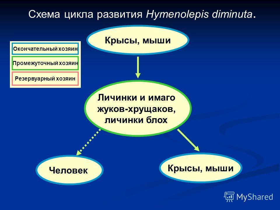 Схема цикла развития Hymenolepis diminuta. Крысы, мыши Личинки и имаго жуков-хрущаков, личинки блох Крысы, мыши Человек Резервуарный хозяин Окончательный хозяин Промежуточный хозяин Резервуарный хозяин Окончательный хозяин Промежуточный хозяин Резерв
