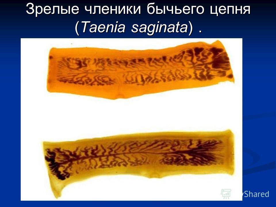 Зрелые членики бычьего цепня (Taenia saginata).