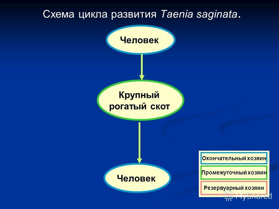 Схема цикла развития Taenia saginata. Человек Крупный рогатый скот Человек Резервуарный хозяин Окончательный хозяин Промежуточный хозяин Резервуарный хозяин Окончательный хозяин Промежуточный хозяин Резервуарный хозяин Окончательный хозяин Промежуточ