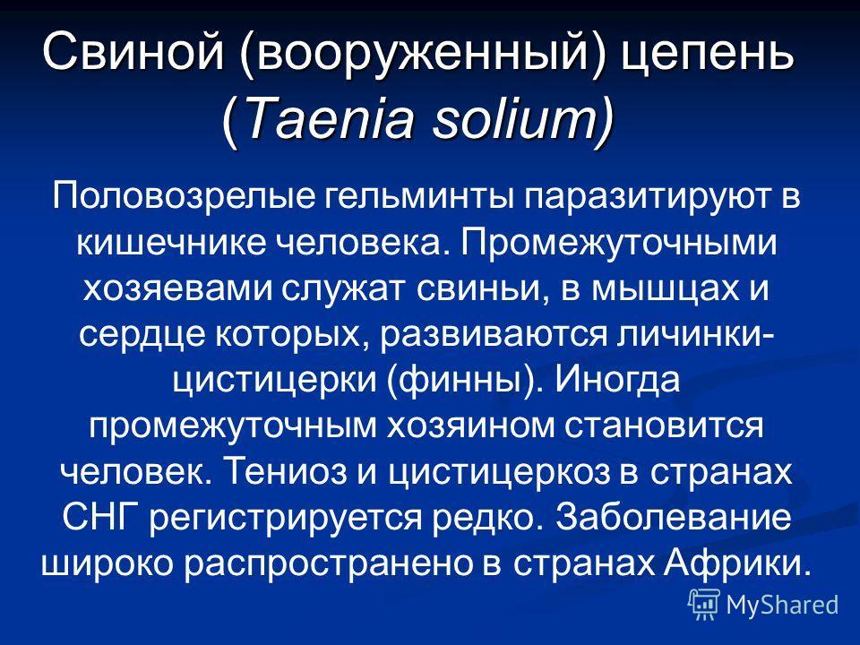 Свиной (вооруженный) цепень (Taenia solium) Половозрелые гельминты паразитируют в кишечнике человека. Промежуточными хозяевами служат свиньи, в мышцах и сердце которых, развиваются личинки- цистицерки (финны). Иногда промежуточным хозяином становится