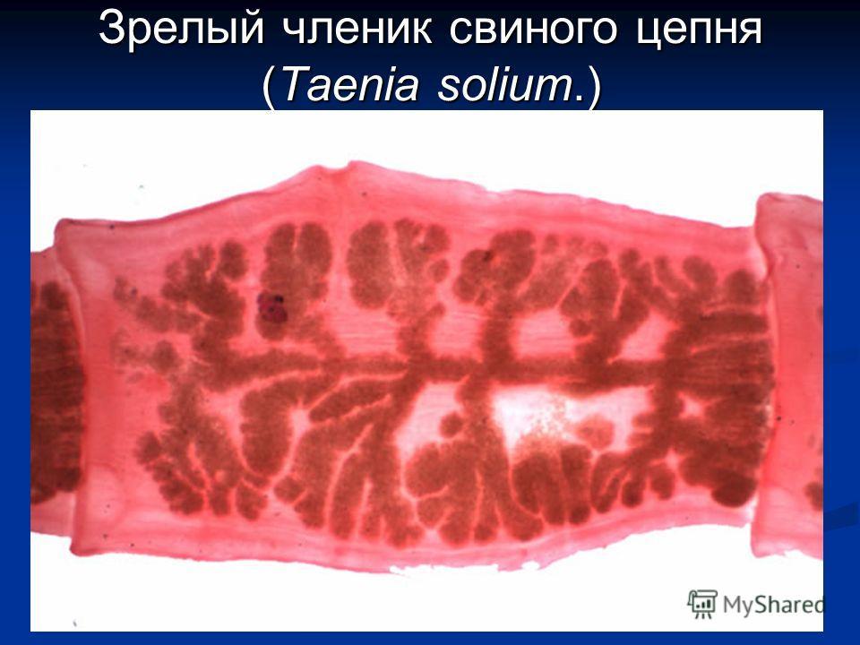 Зрелый членик свиного цепня (Taenia solium.)