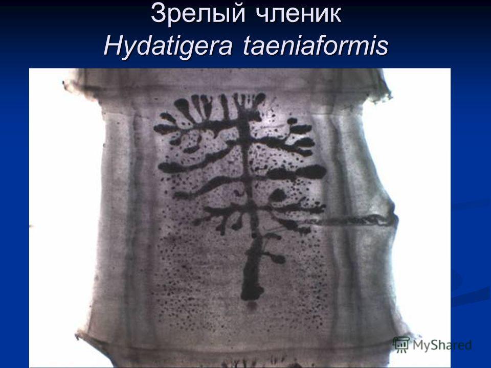 Зрелый членик Hydatigera taeniaformis