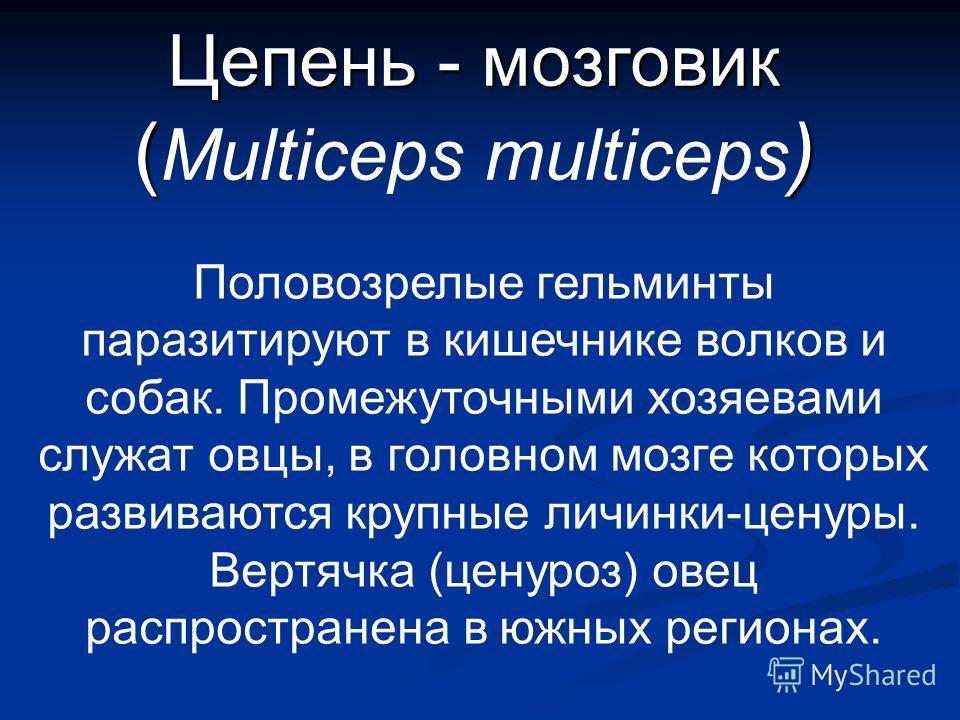 Цепень - мозговик () Цепень - мозговик ( Multiceps multiceps ) Половозрелые гельминты паразитируют в кишечнике волков и собак. Промежуточными хозяевами служат овцы, в головном мозге которых развиваются крупные личинки-ценуры. Вертячка (ценуроз) овец