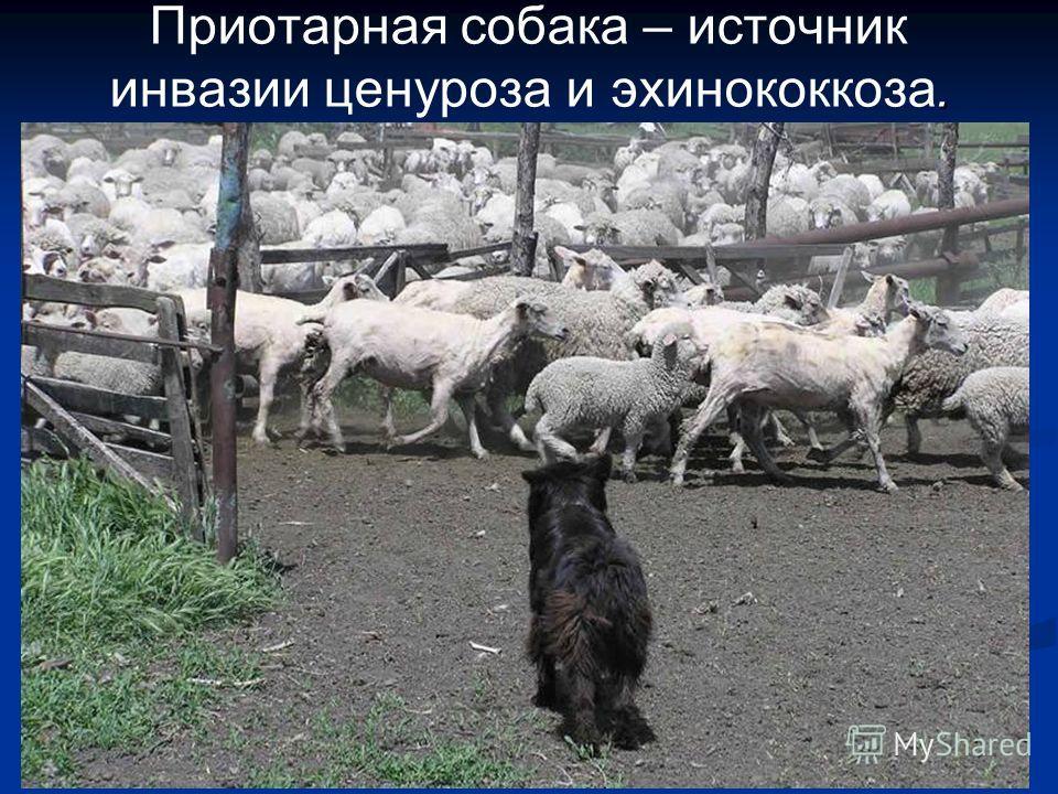 . Приотарная собака – источник инвазии ценуроза и эхинококкоза.