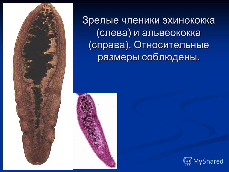 Зрелые членики эхинококка (слева) и альвеококка (справа). Относительные размеры соблюдены.