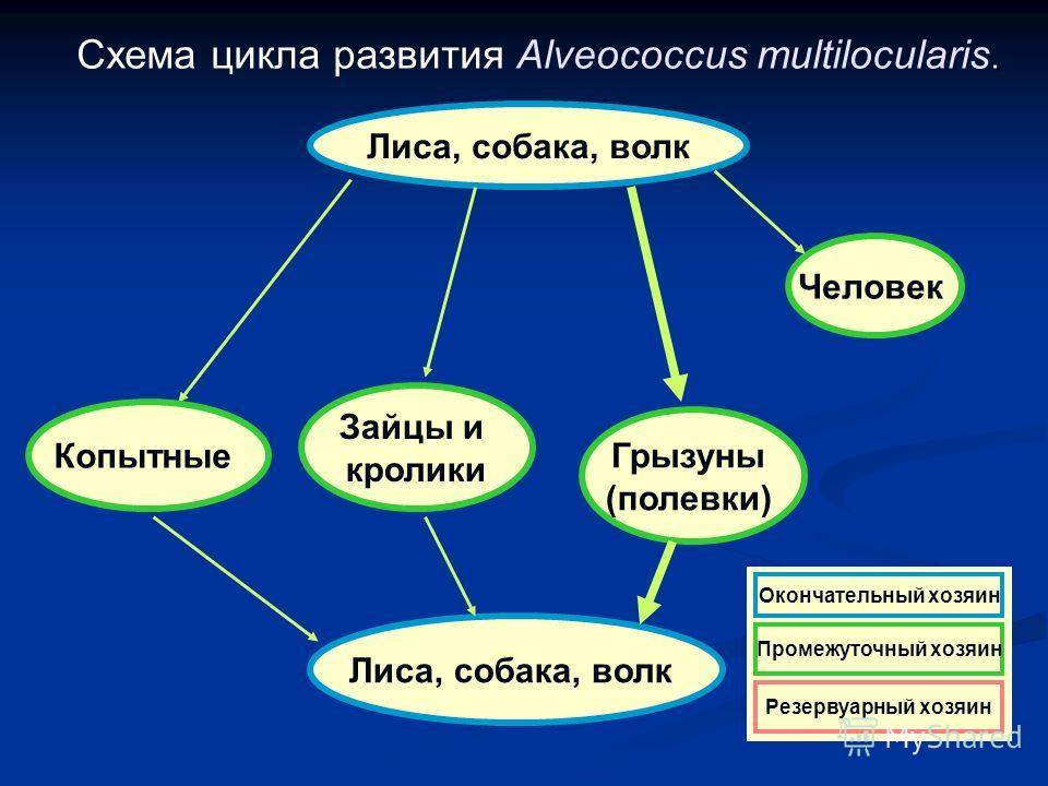 . Схема цикла развития Alveococcus multilocularis. Лиса, собака, волк Человек Копытные Грызуны (полевки) Зайцы и кролики Резервуарный хозяин Окончательный хозяин Промежуточный хозяин Резервуарный хозяин Окончательный хозяин Промежуточный хозяин Резер