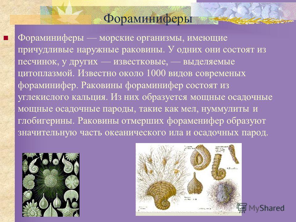 Фораминиферы Фораминиферы морские организмы, имеющие причудливые наружные раковины. У одних они состоят из песчинок, у других известковые, выделяемые цитоплазмой. Известно около 1000 видов современых фораминифер. Раковины фораминифер состоят из углек