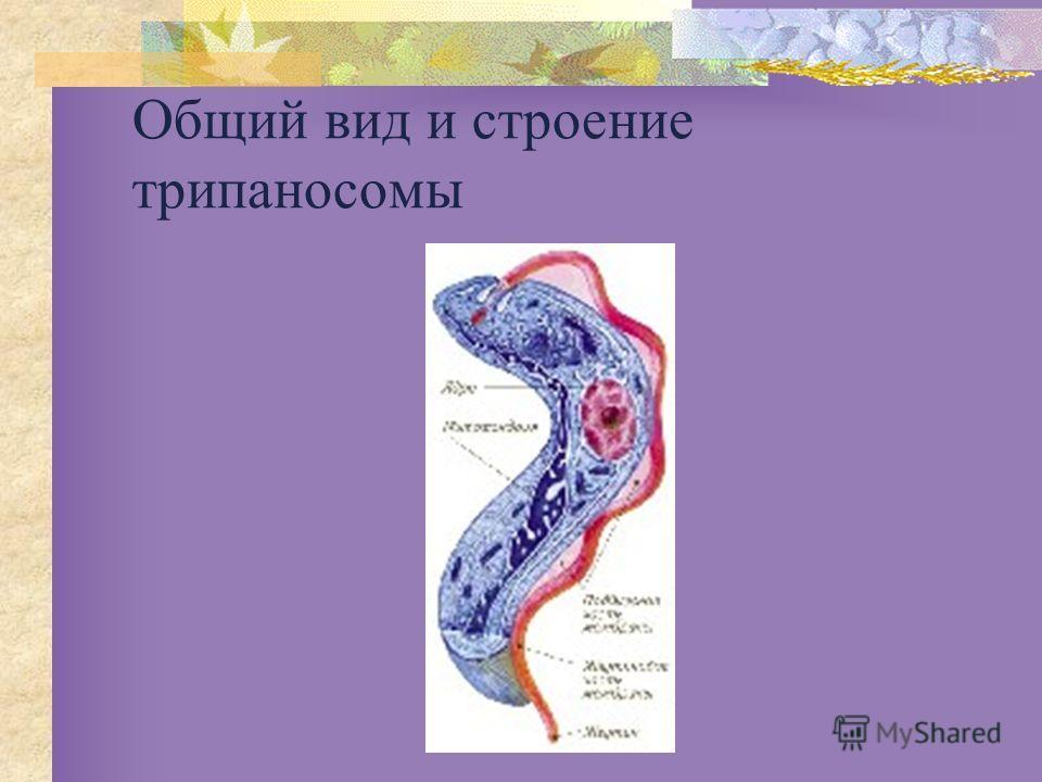 Общий вид и строение трипаносомы