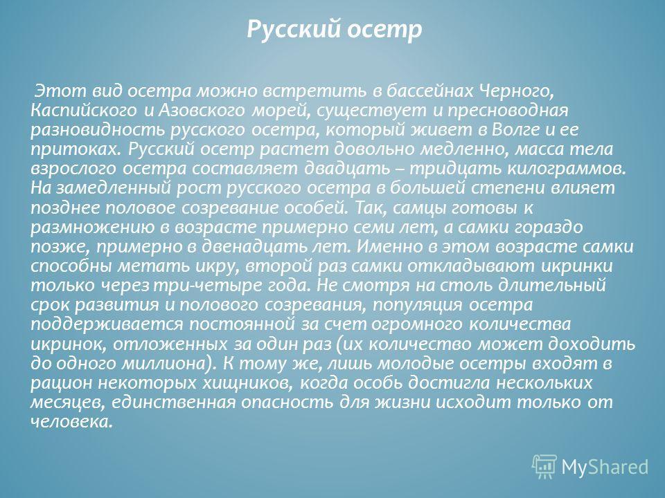 Русский осетр Этот вид осетра можно встретить в бассейнах Черного, Каспийского и Азовского морей, существует и пресноводная разновидность русского осетра, который живет в Волге и ее притоках. Русский осетр растет довольно медленно, масса тела взросло