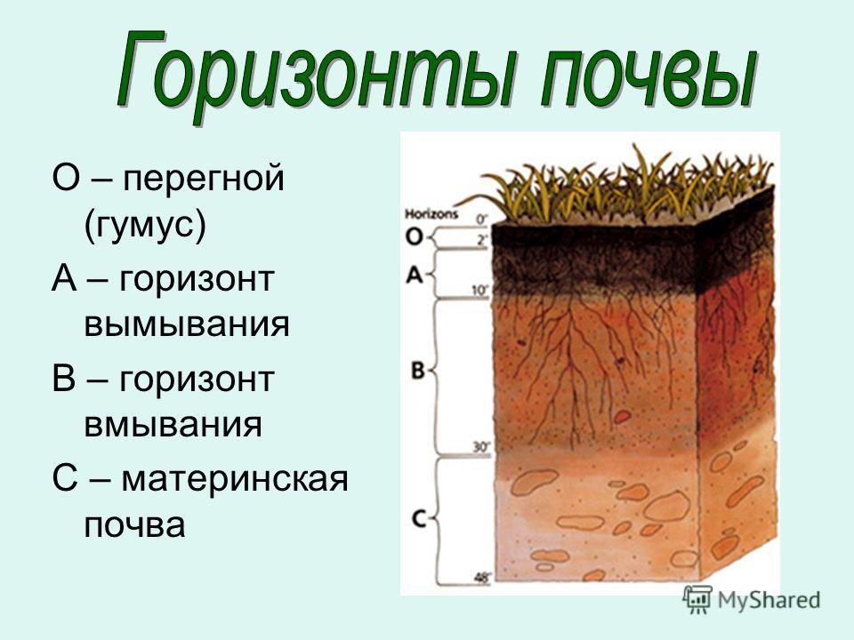 О – перегной (гумус) А – горизонт вымывания В – горизонт вмывания С – материнская почва