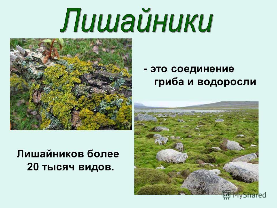 Лишайников более 20 тысяч видов. - это соединение гриба и водоросли