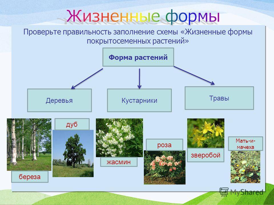 Проверьте правильность заполнение схемы «Жизненные формы покрытосеменных растений» Форма растений Деревья Кустарники Травы береза дуб жасмин роза зверобой Мать-и- мачеха