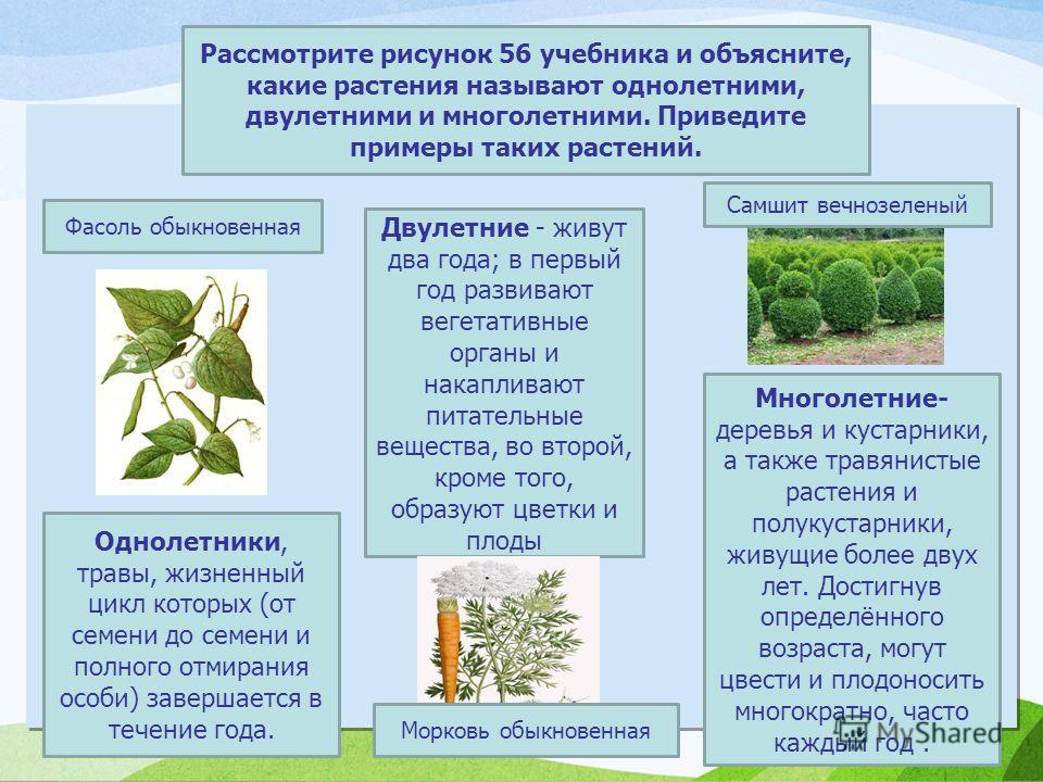 Рассмотрите рисунок 56 учебника и объясните, какие растения называют однолетними, двулетними и многолетними. Приведите примеры таких растений. Фасоль обыкновенная Двулетние - живут два года; в первый год развивают вегетативные органы и накапливают пи