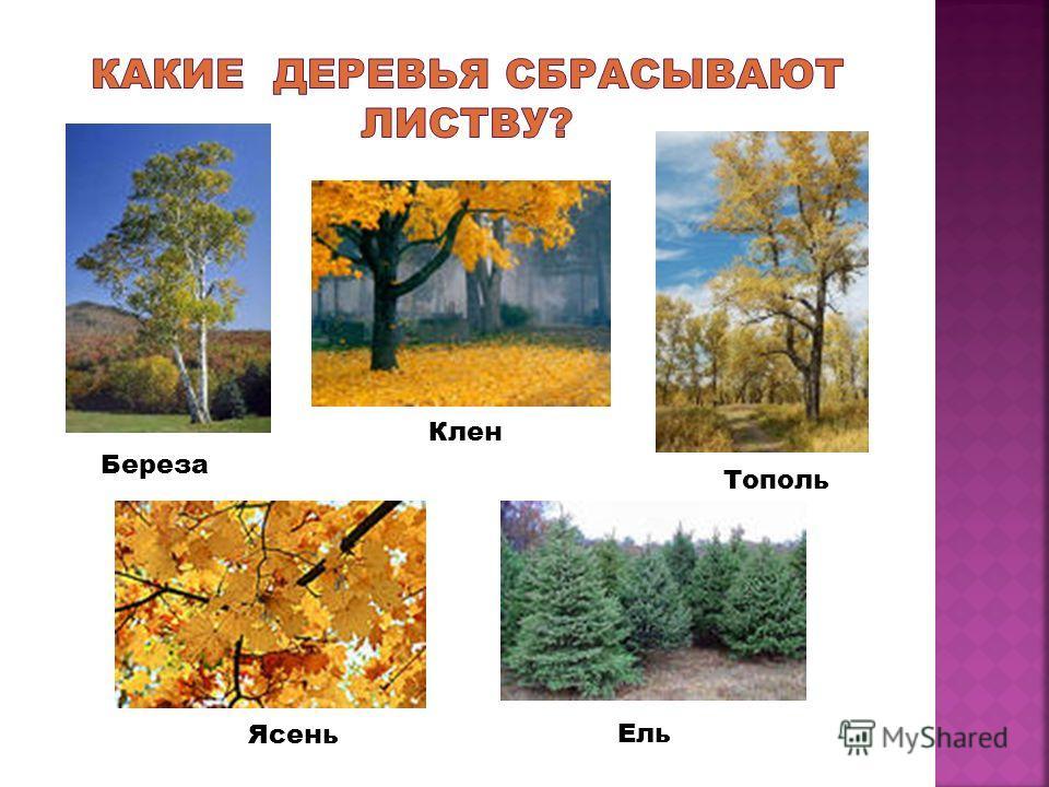 Береза Клен Тополь Ясень Ель