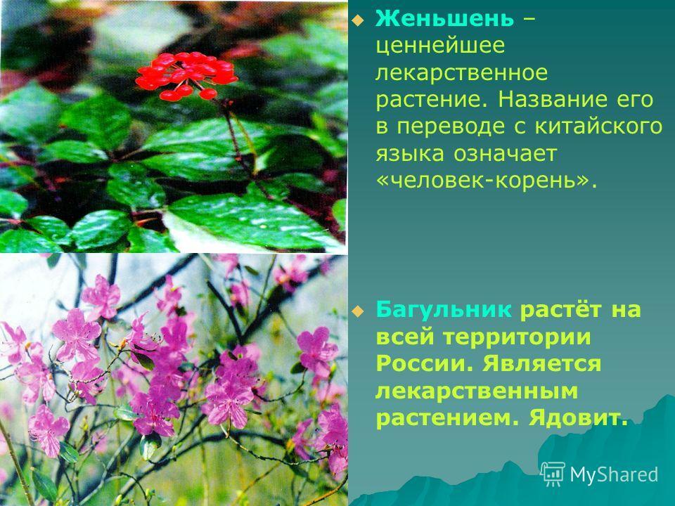 Женьшень – ценнейшее лекарственное растение. Название его в переводе с китайского языка означает «человек-корень». Багульник растёт на всей территории России. Является лекарственным растением. Ядовит.