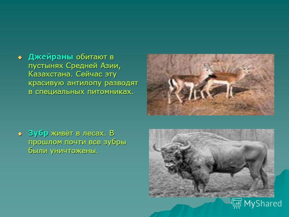 Джейраны обитают в пустынях Средней Азии, Казахстана. Сейчас эту красивую антилопу разводят в специальных питомниках. Джейраны обитают в пустынях Средней Азии, Казахстана. Сейчас эту красивую антилопу разводят в специальных питомниках. Зубр живёт в л