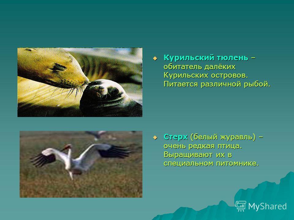 Курильский тюлень – обитатель далёких Курильских островов. Питается различной рыбой. Курильский тюлень – обитатель далёких Курильских островов. Питается различной рыбой. Стерх (белый журавль) – очень редкая птица. Выращивают их в специальном питомник