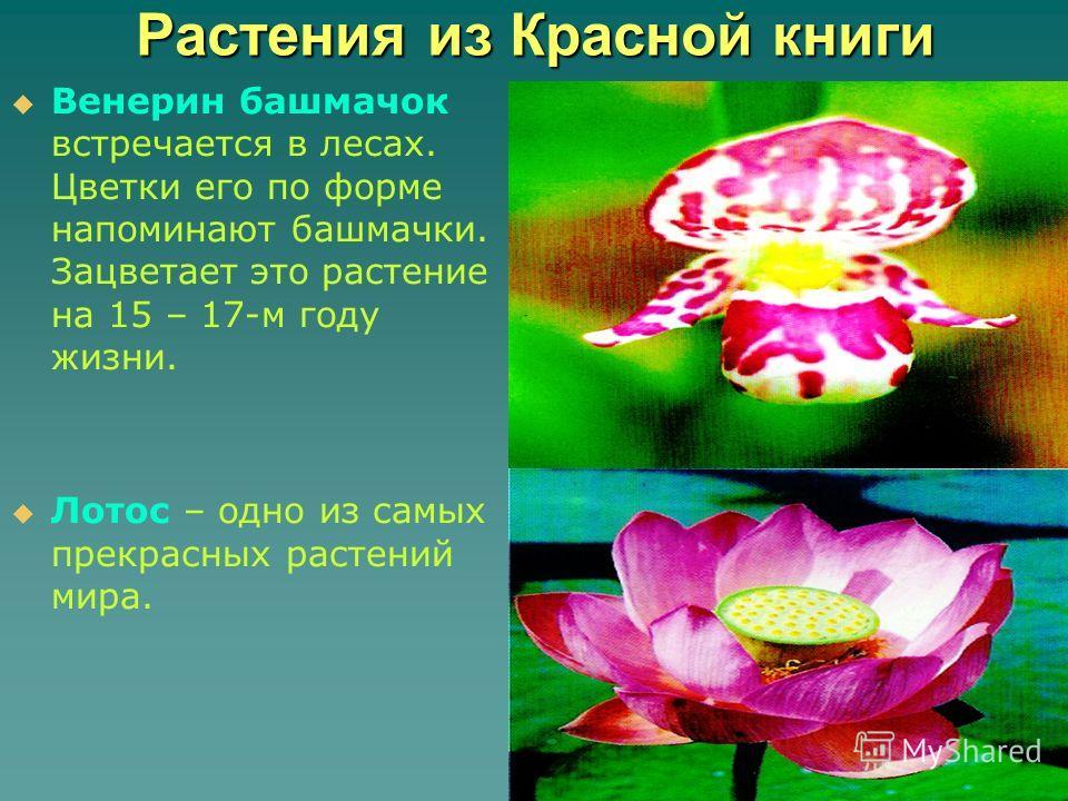 Растения из Красной книги Венерин башмачок встречается в лесах. Цветки его по форме напоминают башмачки. Зацветает это растение на 15 – 17-м году жизни. Лотос – одно из самых прекрасных растений мира.